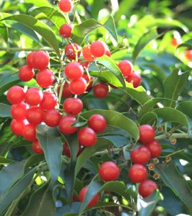 Descubra as propriedades emagrecedoras de Cordia ecalyculata