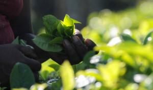Plantação de Camellia sinensis